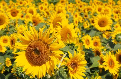 一面に咲き誇る明野のひまわり(イメージ)