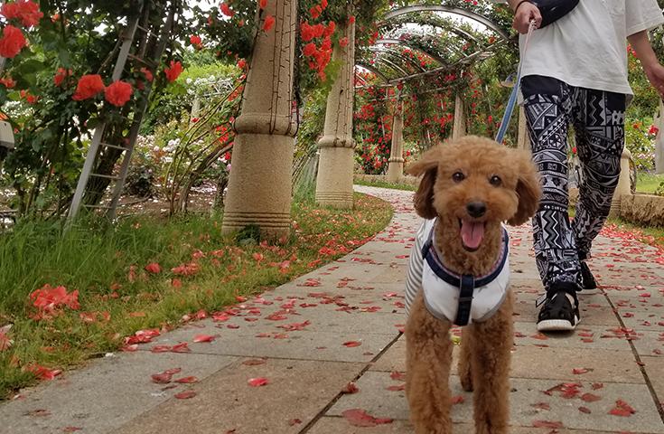 【愛犬同伴プラン】日本一のバラ回廊『ハイジの村』を愛犬と優雅にお散歩♪さくらんぼ狩りやフルーツ公園を一緒に楽しむ日帰りvipわんツアー!