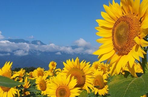 青い空と山々、太陽を浴びたひまわりたちが織り成すコントラストは絶景!