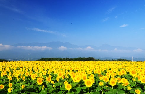 60万株のひまわりが咲き誇る!明野サンフラワーフェスへ