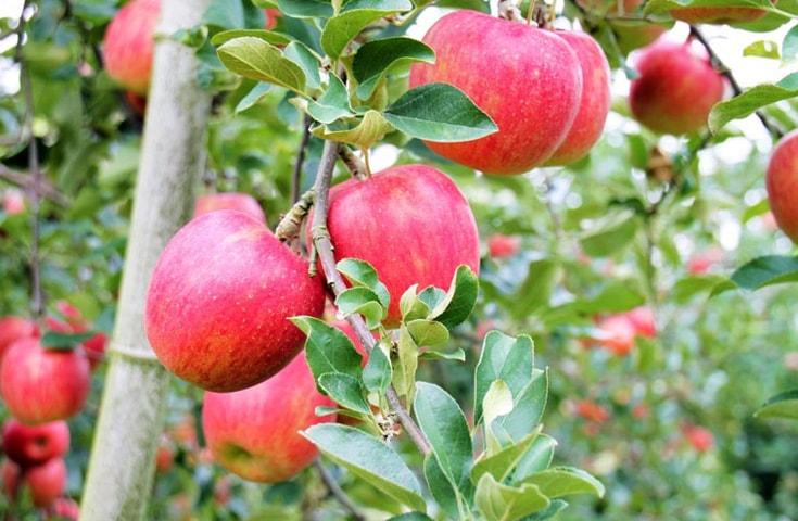 旬のリンゴ狩体験