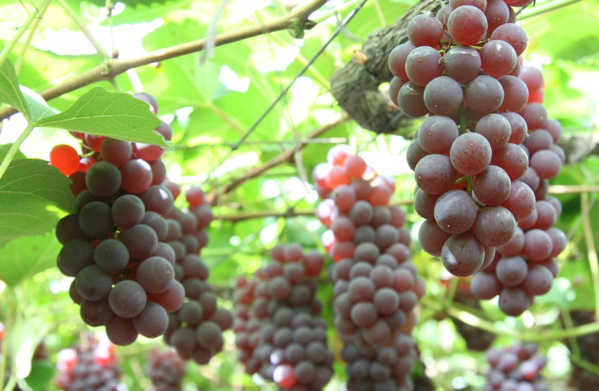 ワインの本場山梨で『ぶどう狩り』