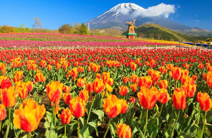 一面に咲き誇るチューリップと富士山の競演