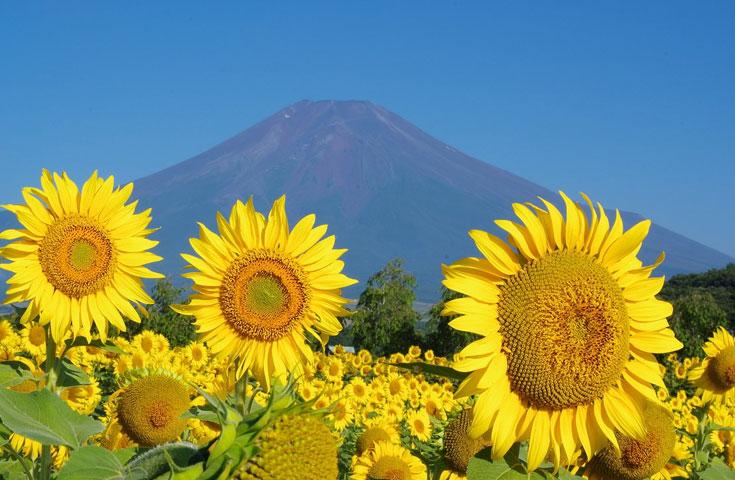 [新宿発]大満足!シャインマスカット狩り食べ放題と『桔梗信玄餅』詰め放題&富士山麓に咲くひまわりや季節の花々、ランチバイキングにワインの試飲体験等、充実の日帰りバスツアー!