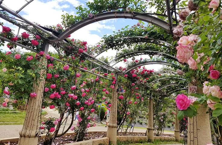 日本一の長さを誇る、ハイジ村の「バラ回廊」