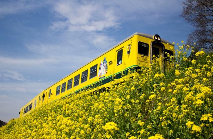 10kmにも連なる菜の花が線路沿いを鮮やかな黄色で彩ります。