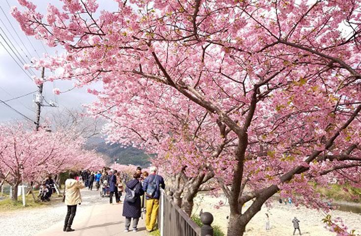 川沿いに約4km続く河津桜並木をのんびり散策。