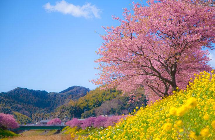 河津桜と菜の花の見事なコントラスト。