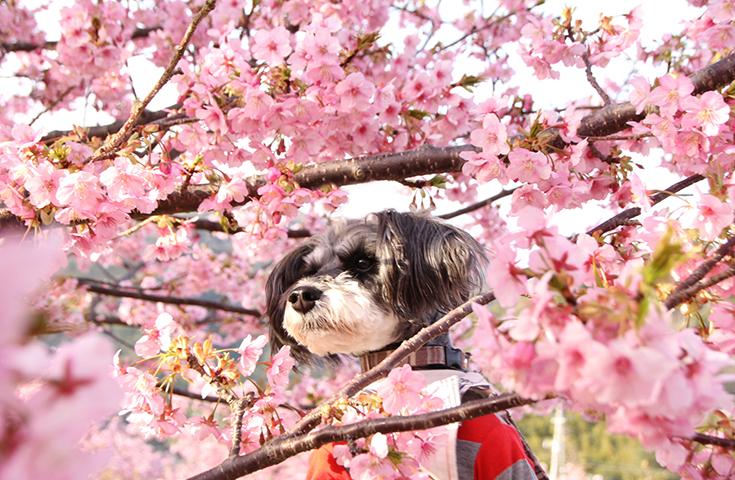 日本一早いお花見会場に春の訪れを感じにいきませんか?