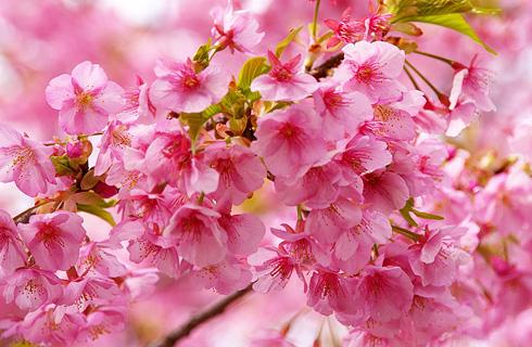 見頃を迎えた河津桜は圧巻の絶景!