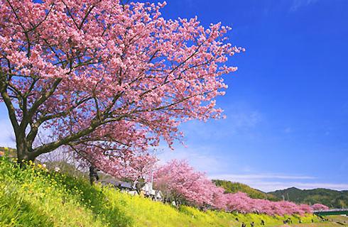 春を先どり!河津町の『河津桜まつり』