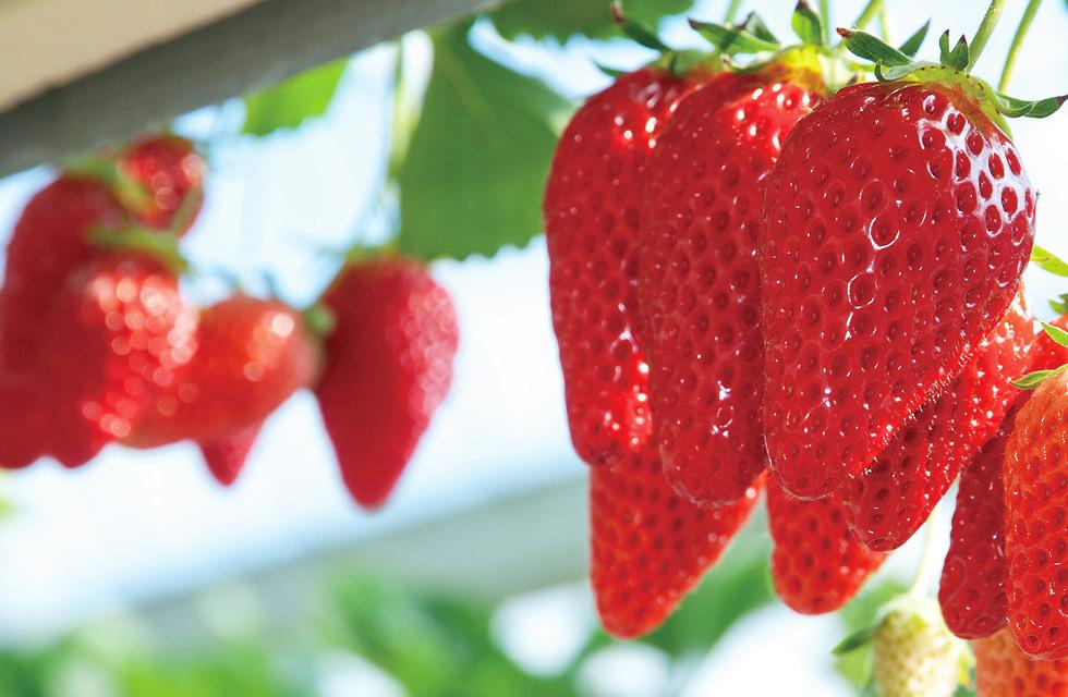 南房総の温暖な気候で育ったいちごを30分食べ放題!