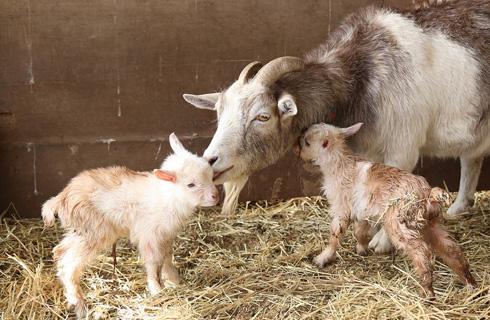 ヤギの赤ちゃんなど普段見られない動物も
