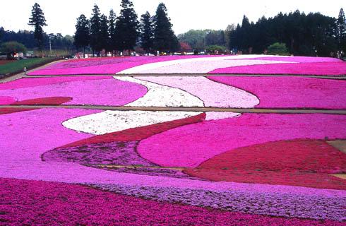 羊山公園でピンクの花じゅうたん「芝桜の丘」散策とあしかがフラワーパーク「ふじのはな物語」ライトアップ鑑賞!お菓子のアウトレットでお買い物も楽しむ日帰りバスツアー!
