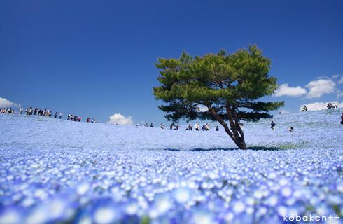 「みはらしの丘」が一面青に染まる絶景鑑賞