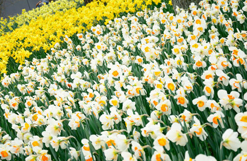 27万本チューリップや、100万本のスイセンも素敵に咲き誇ります