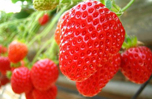 甘酸っぱい旬の味覚、あま〜いイチゴ園内約30分食べ放題