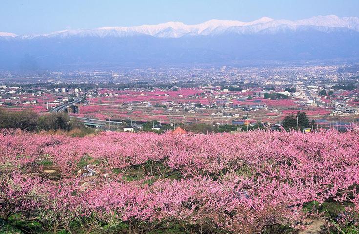 丘一面に広がる桃の花