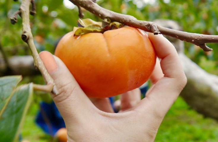 柿狩り食べ放題(※10月中旬から)