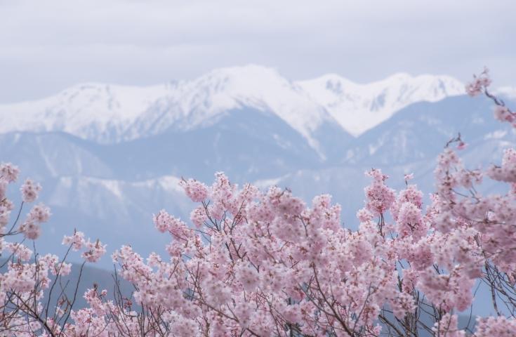【名古屋発】天下第一の桜、1,500本の高遠小彼岸桜たっぷり2時間30分お花見散策&東山ガーデンお花見弁当堪能日帰りバスツアー♪