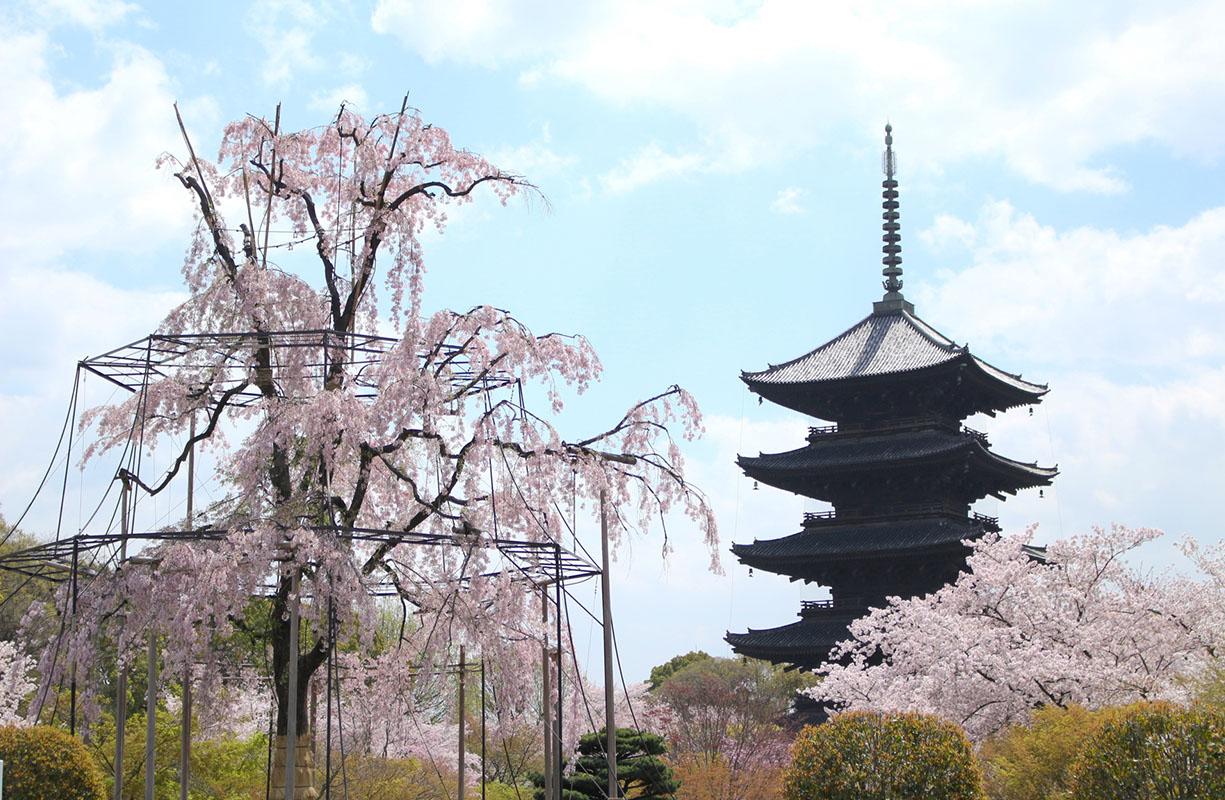 世界遺産平等院・東寺の風景と桜が織りなす春爛漫!季節の味を盛り込んだ「宇治丸弁当」をご賞味!